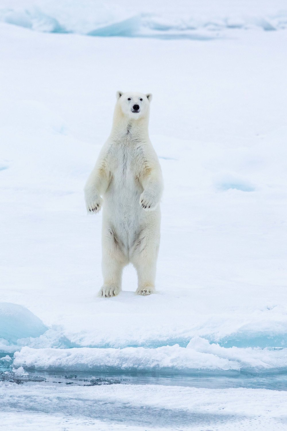 A large female polar bear stands on her hind legs, curiously observing the ship far in the distance.  Weighing as much as 500-600 lbs, female polar bears look like giants on the ice, but when standing at over 7 feet tall, their size and strength is even more humbling.  Though this bear was curious about the ship for a brief moment, she quickly returned to her normal hunting behaviors and was calm as if the ship were not there, making it possible to observe the bear on her own terms without disrupting her way of life. In the arctic, just as anywhere else, it is crucial to ensure that the presence of people does not impact wildlife or leave a lasting footprint. The M/V Plancius and its crew from Oceanwide are governed by an organization called AECO that sets guidelines and ethical standards for ensuring encounters like this one lead to a positive impact for the species of the arctic, not a negative one.