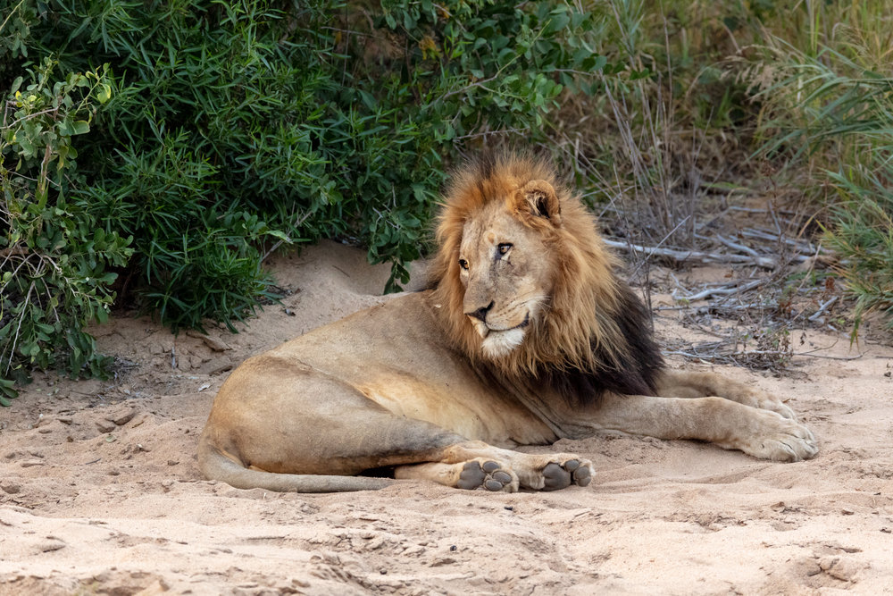 "As the iconic ""king"" of Africa, lions present a challenge to reserves as a result of their tremendous influence over both economic and ecological webs, mixed with their novel overabundance in South Africa. Unlike threatened populations in other parts of Africa, lions in South Africa's fenced environment quickly reach carrying capacity with increased life expectancy and short gestation. Historically, lion numbers were limited by conflict from distant prides and rogue males, but with fences abound migration has become impossible. Humans must now find a way to ethically control the population of an otherwise threatened species.   Kalahari Junior, the male lion pictured, is the son of a large male (Kalahari) who was traded between reserves in an attempt to mimic migration by introducing territorial conflict and re-kindling lost genetic diversity. Kalahari did just that. He passed on new genes and fought other lions to become a dominant force on the reserve.   Soon after Kalahari Junior came of age, a coalition of males killed his father to take over the pride and rather than live under their reign, Kalahari Junior fled to live as a solitary male. Today, the cycle continues as Kalahari is following in the footsteps of his father and rising to become a new ""king"" of the reserve. Though artificially introducing conflict in lion populations seems harsh, it is just one of many unsavory strategies that reserves must face to maintain a balanced ecosystem in today's world."
