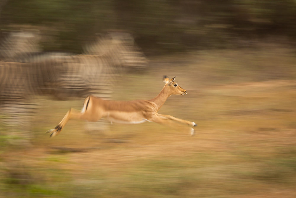 A small female impala leaps through the air, spooked by the threat of nearby predators. Among the most important parts of a healthy ecosystem is the predator-prey balance, yet the equilibrium can be easily thrown-off when ecosystems are constrained by humans or species go extinct. Though fenced ecosystems lose their ability to be self sufficient, nature is complex and it is impossible for humans to dictate the population of every single species. Instead, people must focus on the species that have the biggest impact on the ecosystem - lions and elephants. By monitoring the abundance of the top carnivores and top herbivores, humans have taken the wheel of the ecosystem, steering everything from the populations of giraffes and impala to the populations of insects and plants. Many natural places around the world remain unfenced and unmanaged by people, but growing and expanding human populations mean that humans will be increasingly responsible for guiding the balance of nature.
