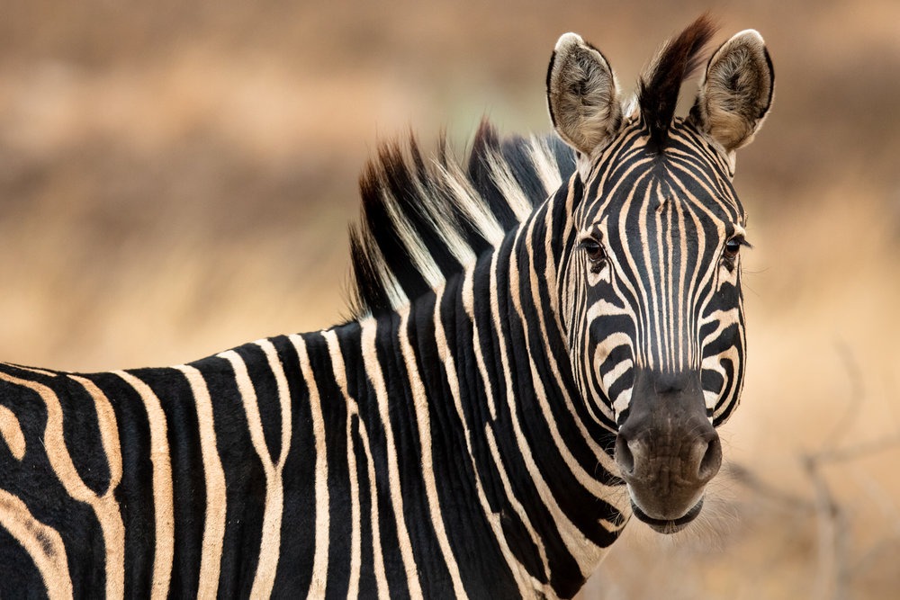 "Not all species that draw tourism to South Africa are members of the fabled ""big 5"". Though closely related to common domestic species like donkeys or horses, zebra are one of the most striking and exotic sights to many foreign visitors - serving as a visual ambassador to the marvel of Africa's striking diversity. The black-and-white stripes that make zebra so unique are more than just a visually mesmerizing decoration, though their purpose is still elusive. Until recently, it was assumed that the flashy appearance was a of camouflage to confuse leopard, lion, or cheetah, but there has been no evidence to show the stripes decrease predation. In fact, some now think that the high-contrast stripes make the zebra more visible in its environment. One newer theory claims that the stripes could help keep the plains-dwelling animal cool in the hot sun by causing air to flow over the zebra's skin. Another believes the alternating colors keep disease-carrying insects from biting. Whatever the answer may be, the intricate mystery of the zebra's stripes remains unsolved."