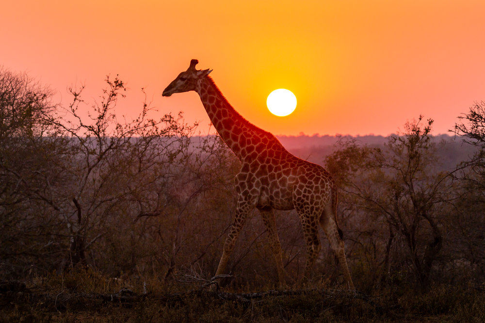 The golden orb of the setting sun casts a final sliver of light onto a passing giraffe as the shadow of night sweeps over the savannah.   The South African ecotourism model benefits many reserve owners, tourists, and conservationists, but one key stakeholder is often left in the shadows on the other side of the horizon. Just over the hills lies a sprawl of poverty-stricken communities that have been both physically and psychologically excluded from their wild landscape since the fences went up decades ago.  Some of the most diverse wild-lands on the planet exist just beyond a fence-line, but many locals go their entire lives only able to experience the wildlife through stories brought back by privileged visitors.   Segmenting wildlife with fences and marketing to foreigners has been proven to buoy conservation and boost the economy, but in the process, the vital understanding between people and nearby species has been consigned to those from far-away. A connection between locals and neighboring wildlife is a missing-link for conservation in South Africa and around the world.