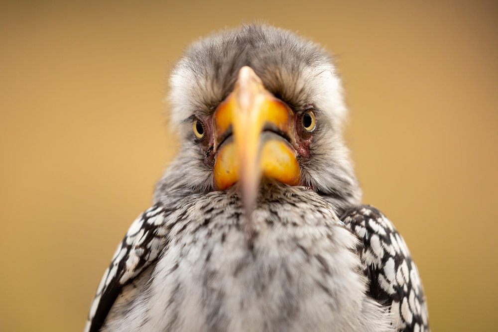"The southern yellow-billed hornbill is one of southern Africa's most recognizable and charismatic birds. With their long and curved toucan-like beak that nearly dwarfs their own body, the yellow-billed hornbill is often nicknamed the ""flying banana"". Though the giant size of the beak seems like a strangely unnecessary adaptation, it was recently discovered that hornbills and other large-beaked birds use the beak as a way of regulating temperature. Just as dogs pant and humans sweat, many species have their own unique ways to keep from overheating. Since parts of Africa can be hot and dry during certain times of year, the monstrous beak adds extra surface area that can release heat and keep the bird cool in the hot African sun."