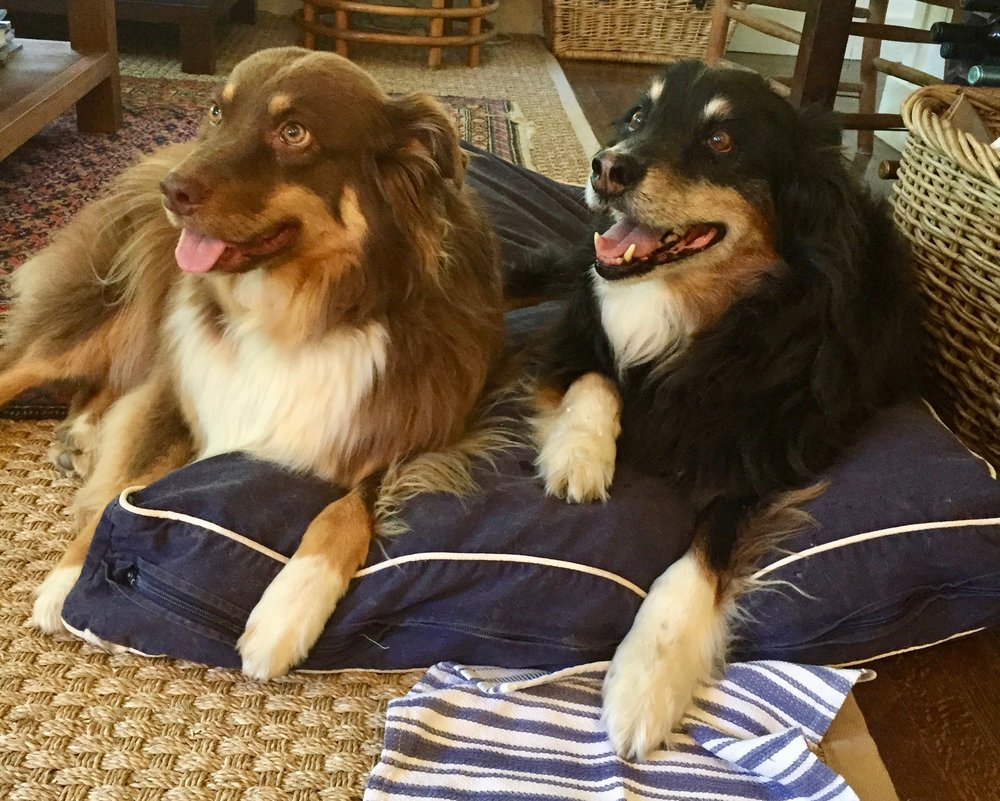 NULLAH AND COOPER WERE OUR PAIR OF AUSSIES UNTIL COOPER PASSED AWAY RECENTLY. COOPER WAS 16. HE LIVED FOR  MEALTIME, WALKTIME AND HAVING HIS HEAD SCATCHED EVERY EVENING WHEN WE CAME HOME. DURING HIS LIFE, HE WAS A FRISBEE PLAYER, AGILITY COURSE RUNNER, BACKPACK PARTNER, AND ALL AROUND ATHLETE AND AWESOME COMPANION. HE WAS OUR KIDS' BABYSITTER AND PLAYMATE. HE WAS A GENTLEMAN AND A SCHOLAR. WE MISS HIM VERY MUCH.