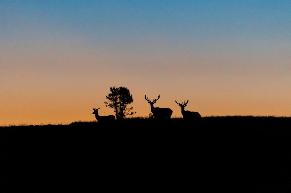 Elk Sunrise (reduced noise).jpg