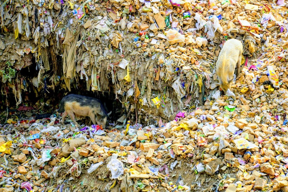 A family of pigs made their home in a garbage pile along a sewage runoff off the banks of the ganges river.