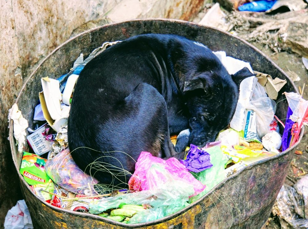 a dog who bedded down in a garbage can near our guest house in varanasi. her litter of pups played nearby.