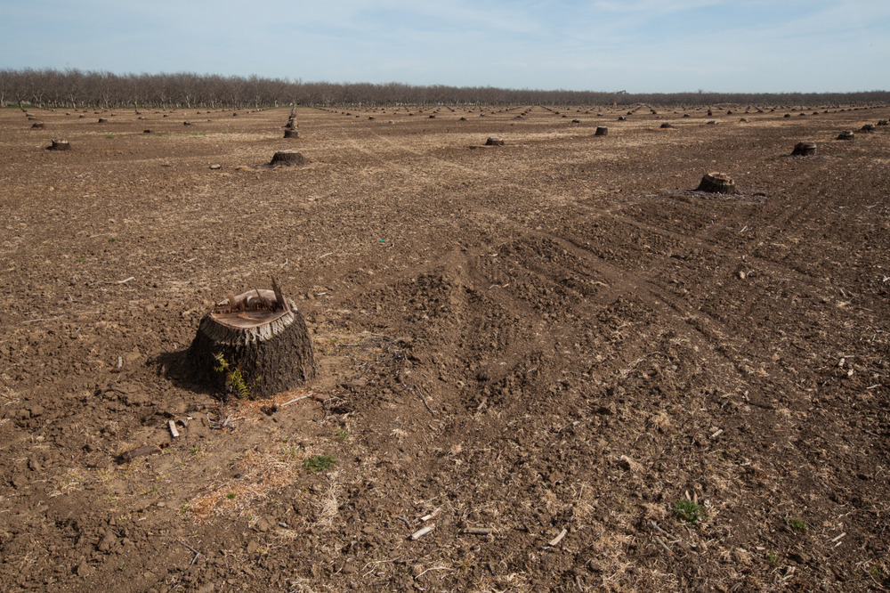 An orchard outside of Winters, California that has been cleared to the ground