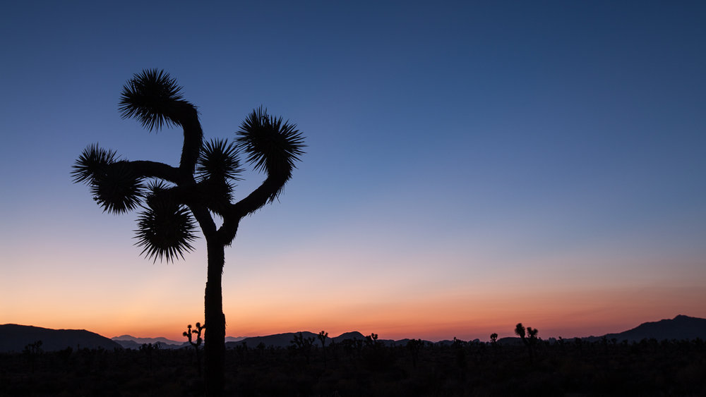 A joshua tree at sunset in Joshua Tree National Park