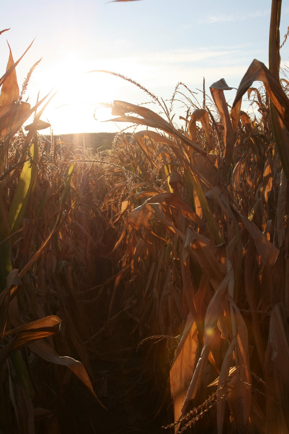 sunset in a corn field