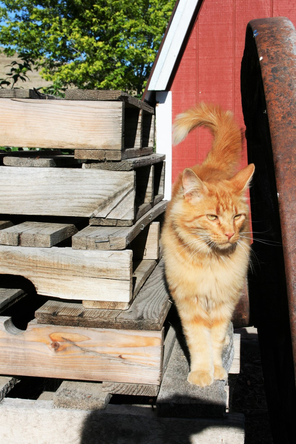 Stanley the barn cat | The Little Homeplace