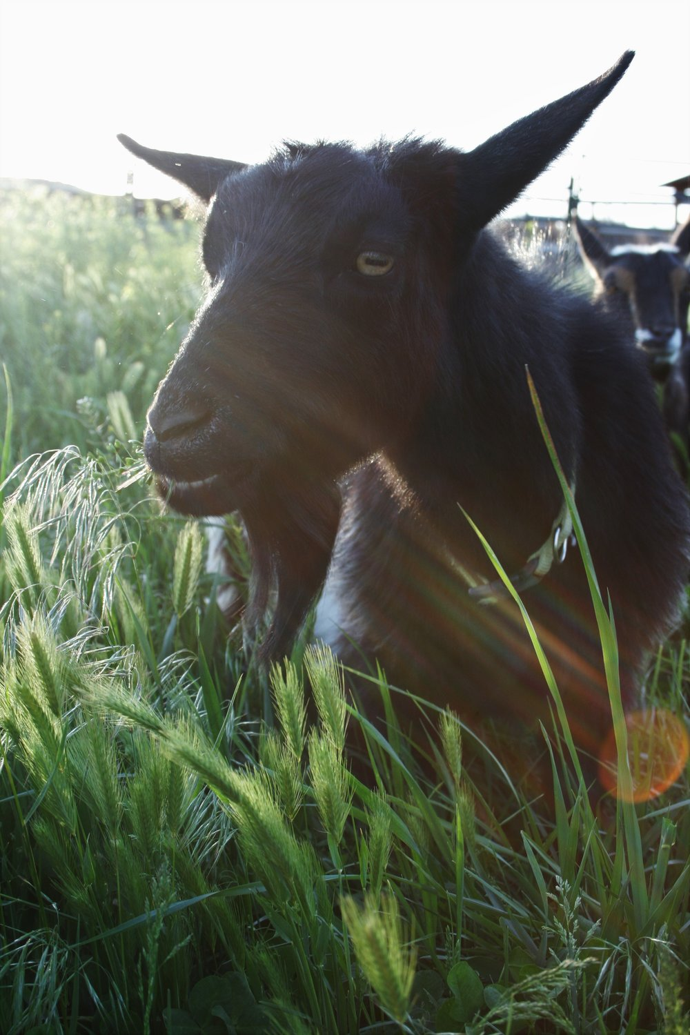 Tilly the goat | The Little Homeplace