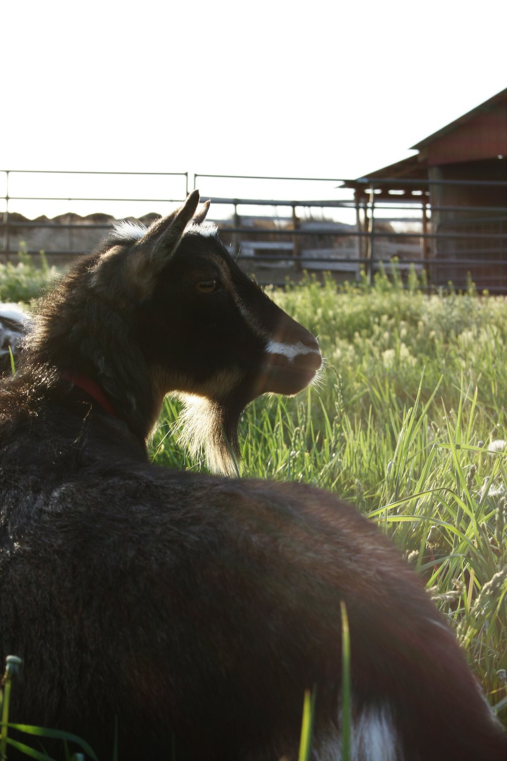 Pip the goat | The Little Homeplace