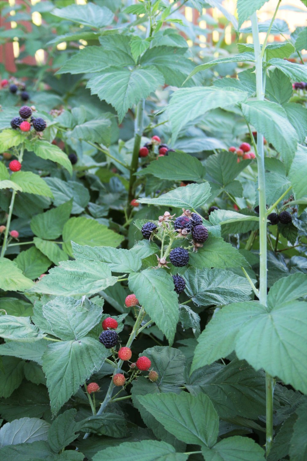 Black Raspberry Patch | The Little Homeplace