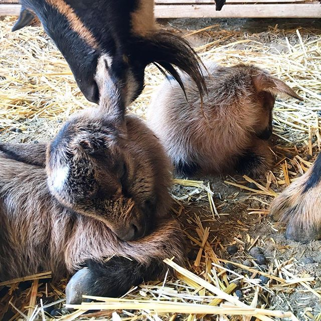 Well, something very exciting happened today... Two little gals joined our farm! 😍  A year ago, I wasn't even considering getting goats. In fact, I was actually opposed to them! (I mean, who wants to deal with those obnoxious escape artists anyway?! 🙄) Then somehow, with a little gentle persuasion from a friend, I ended up falling in love and starting my own little herd.  And after today, watching my girl Pip become a mama to some of the most adorable creatures on earth, I think it's safe to say that I'm a part of the crazy goat lady club. There's no going back now, friends. 😂 P.S. Name suggestions for these cuties? Fire away!! . . . . . . . . . . . . . . #goatsofinstagram #nigeriandwarfgoat #nigeriandwarf #nigeriandwarfgoats #babygoats #crazygoatlady #homestead #homesteading #homesteadlife #countryliving #countrylife #farmlifestyle #farmlife