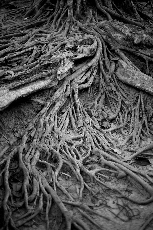 banyan roots, cambodia