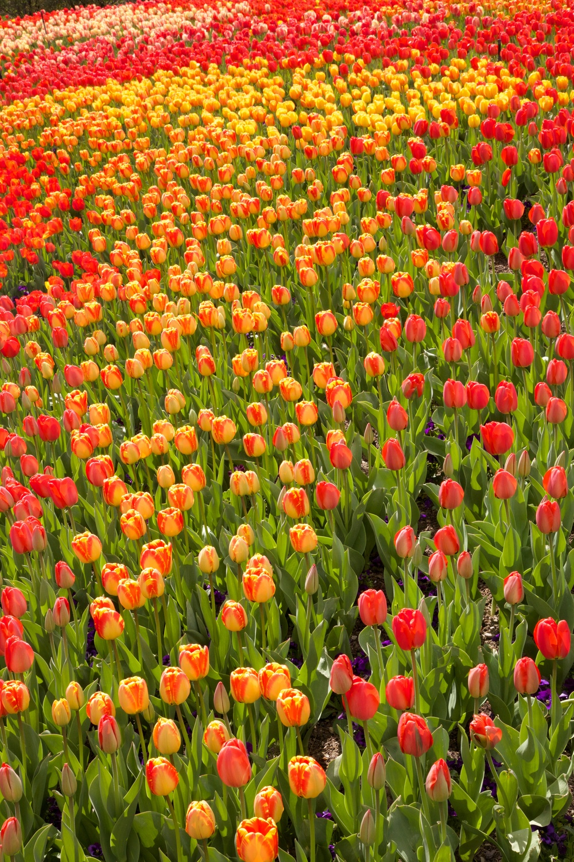 tiptoe through the tulips, salt lake city