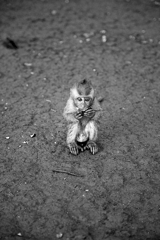 Young Macaque, Bali