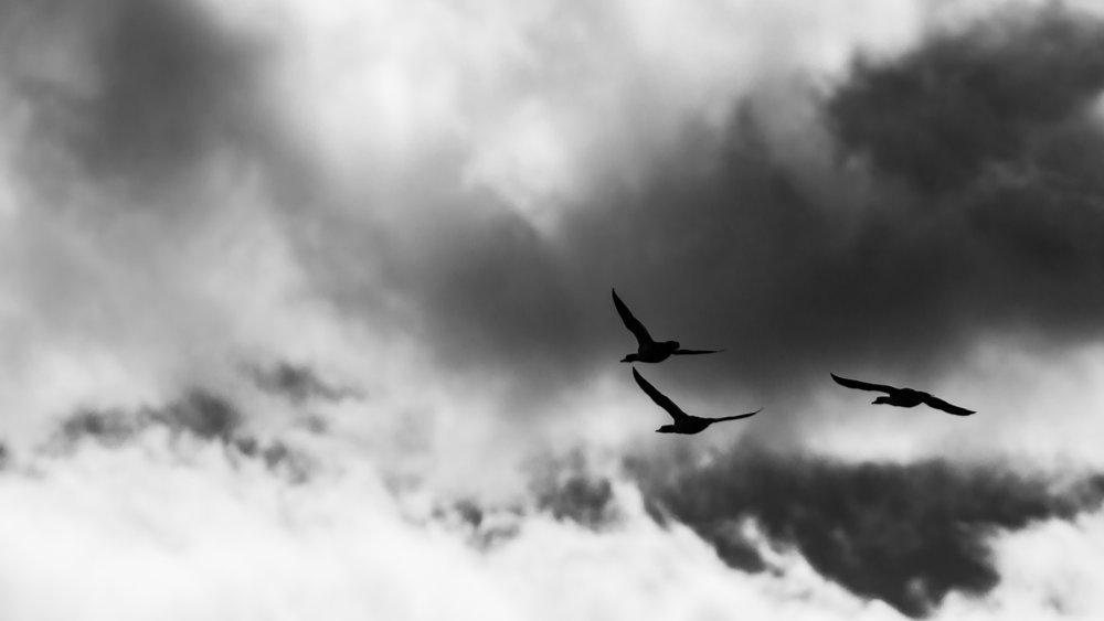 Ducks in Flight, Montana