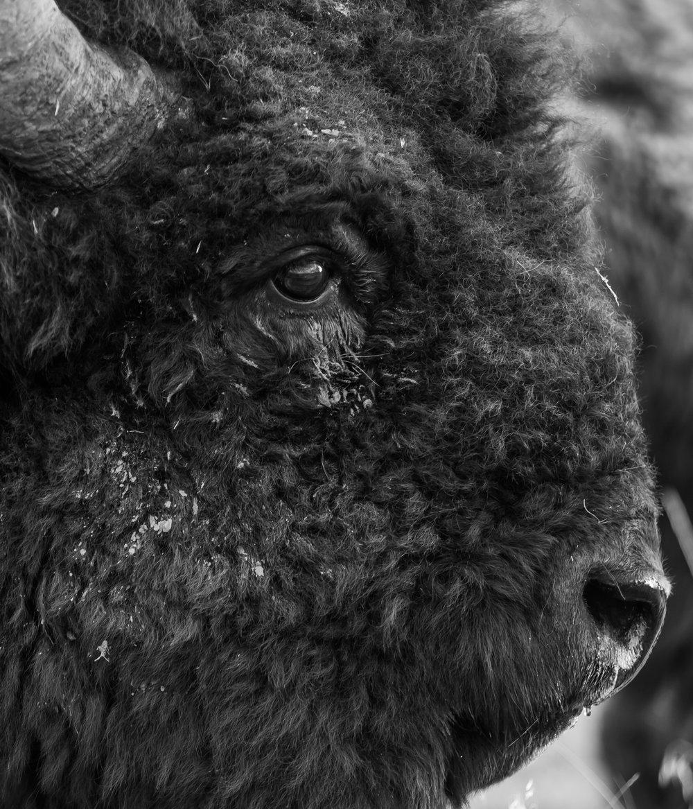 Bison, National Bison Range, MT