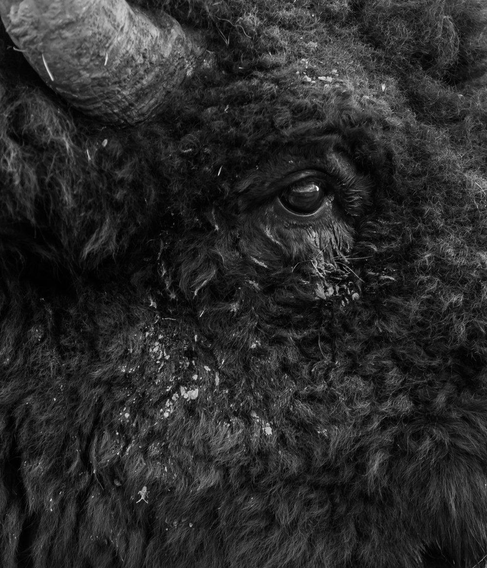 Bison Face Detail, National Bison Refuge, MT