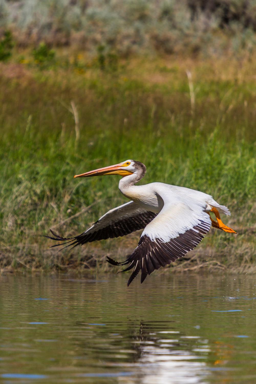 Pelican, Upper Missouri River Breaks, MT