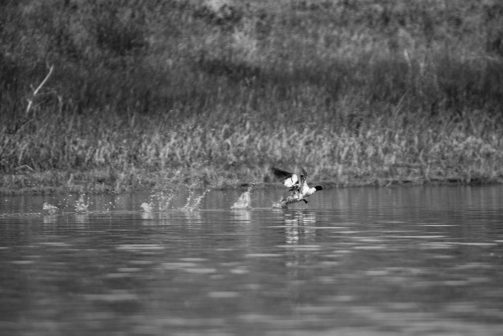 Skipping Duck, Upper Missouri River Breaks, MT