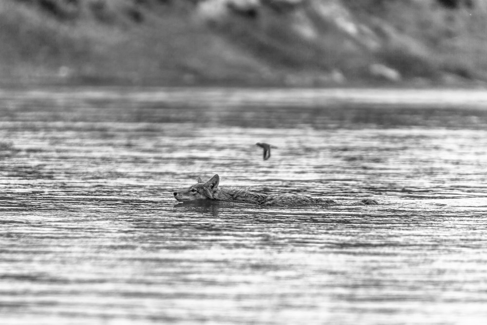 Coyote Swimming Near Woodhawk
