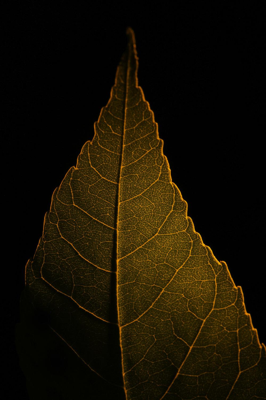 macro infrared cottonwood leaf, fort benton, mt