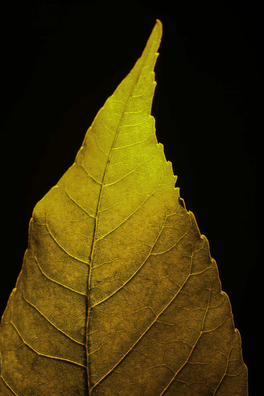 macro infrared cottonwood leaf III, fort benton, mt