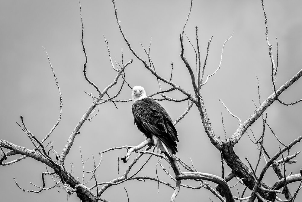 Bald Eagle, Montana Prairie