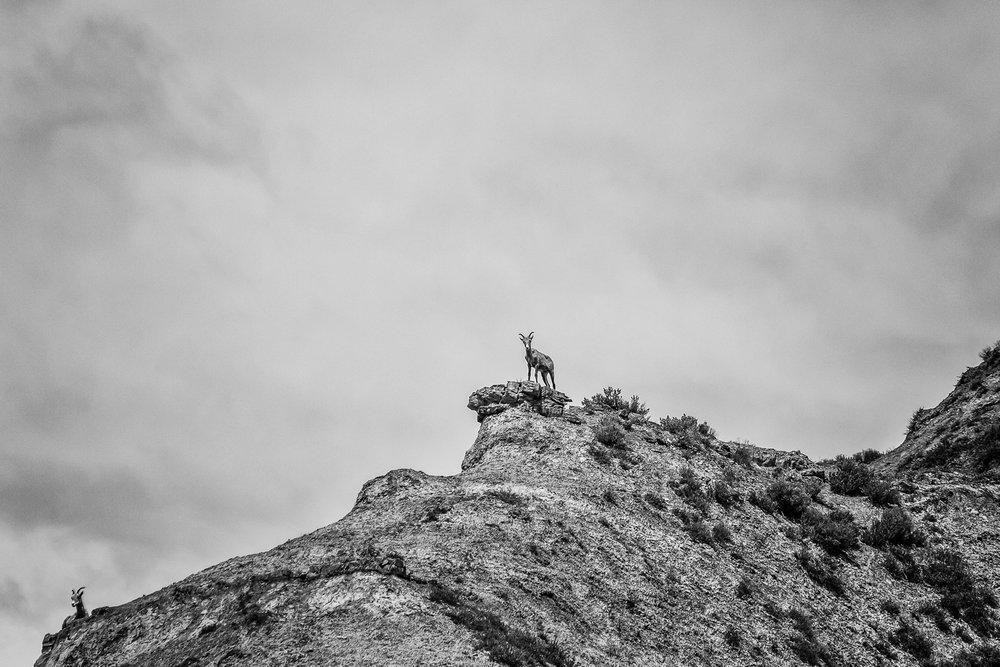 Bighorn Sheep near Gist Homestead