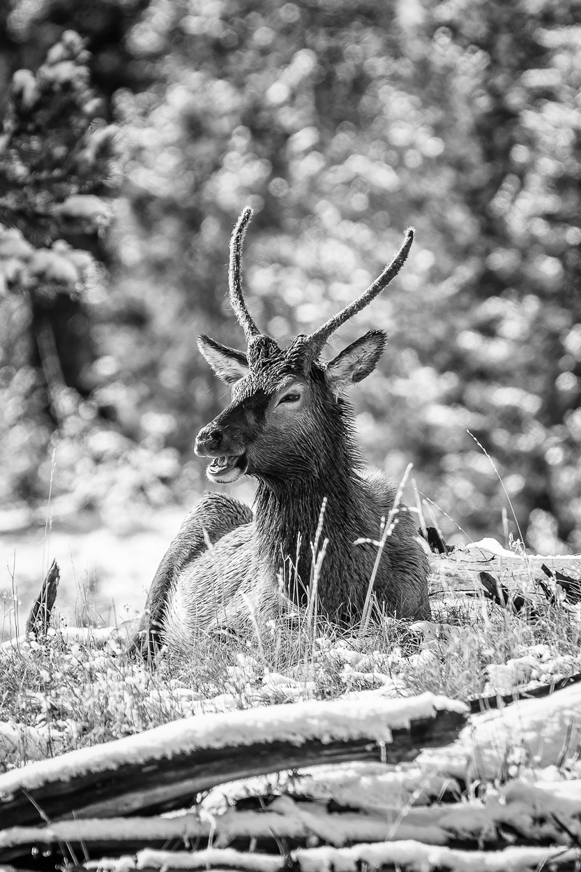 Stag Elk, Yellowstone NP