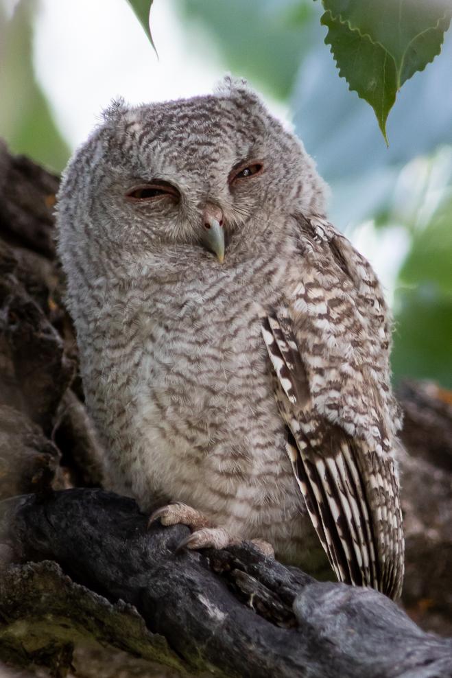 Eastern Screech Owl, Missouri River Breaks, MT