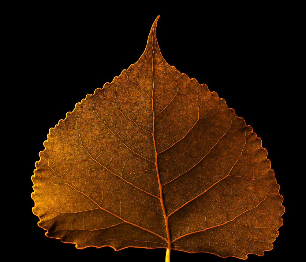 macro infrared cottonwood leaf II, fort benton, mt