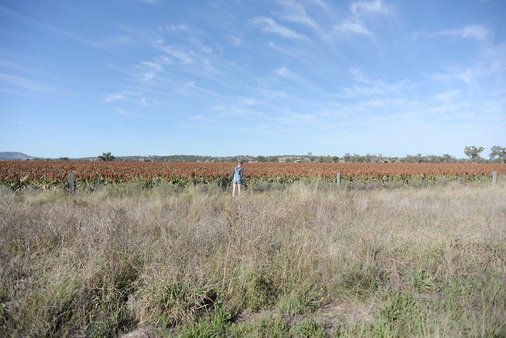 sorghum fields nsw