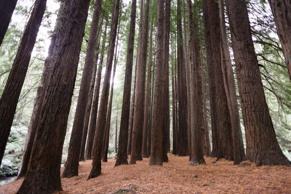 beech forest victoria