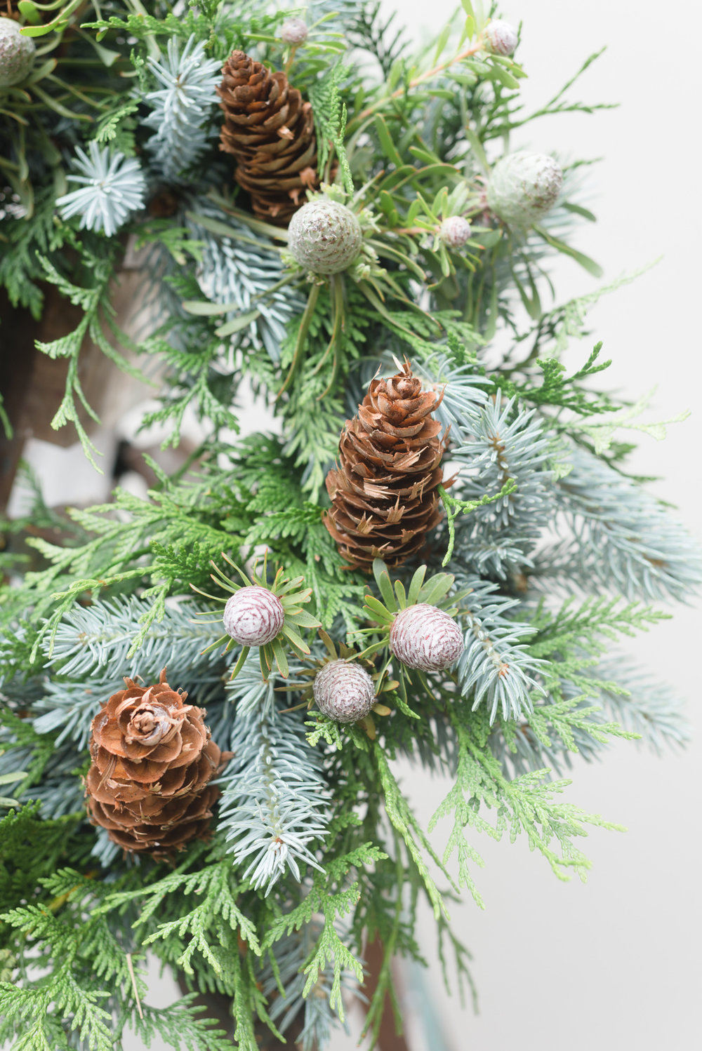 holly blue spruce mini leucadendron