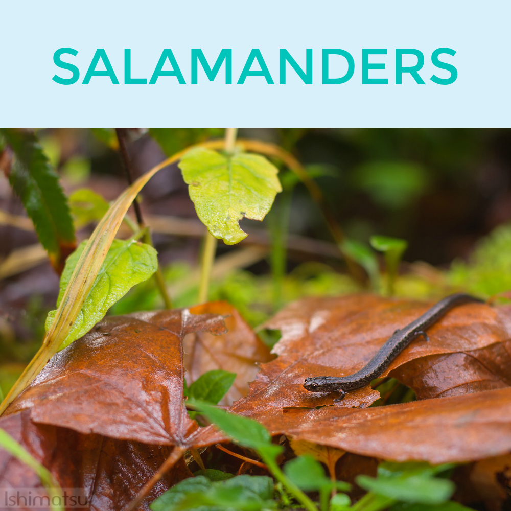 SALAMANDERS.jpg