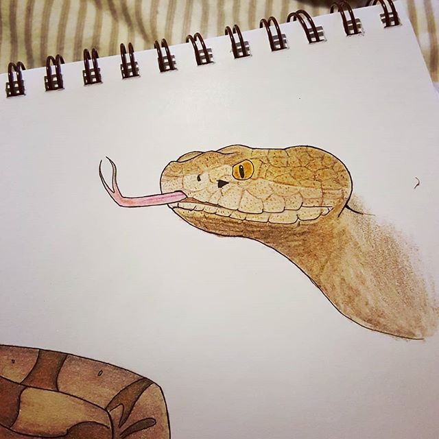 More detailed Copperhead artwork added to my sketchbook page today. 😊  #happyherping #herpetology #reptileart #snakeart #copperhead #agkistrodoncontortrix #sketchbook #coloredpencil #prismacolor