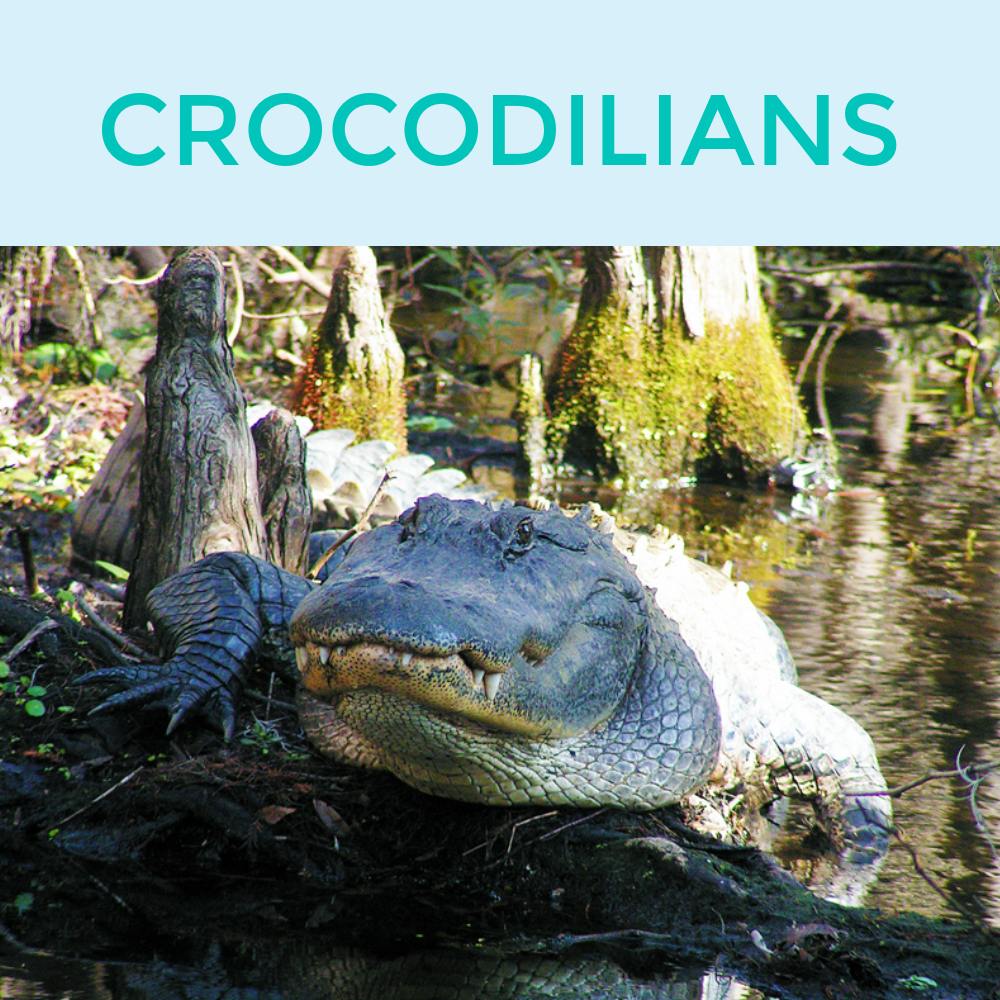 CROCODILIANS.jpg