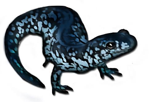 salamanderfinal.jpg