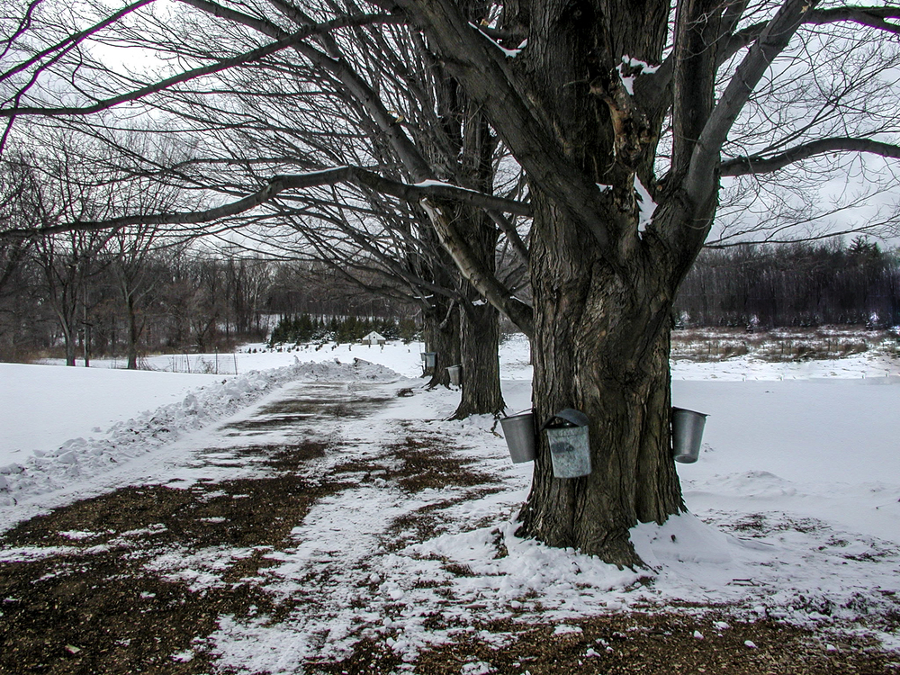 Maple trees lines up and tapped.  Ready for the sap to run!