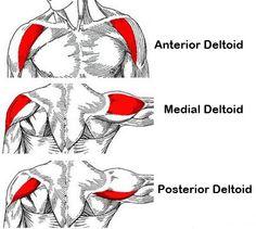deltoids diagram.jpg