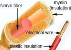 Myelin insulation wraps neural circuits in the same way electric wires are wrapped by plastic insulation.