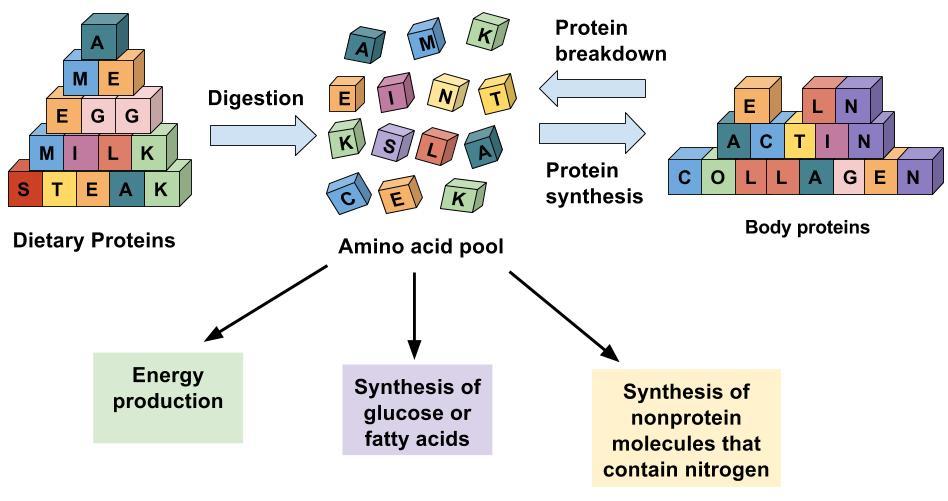 Aminos distribution.jpg