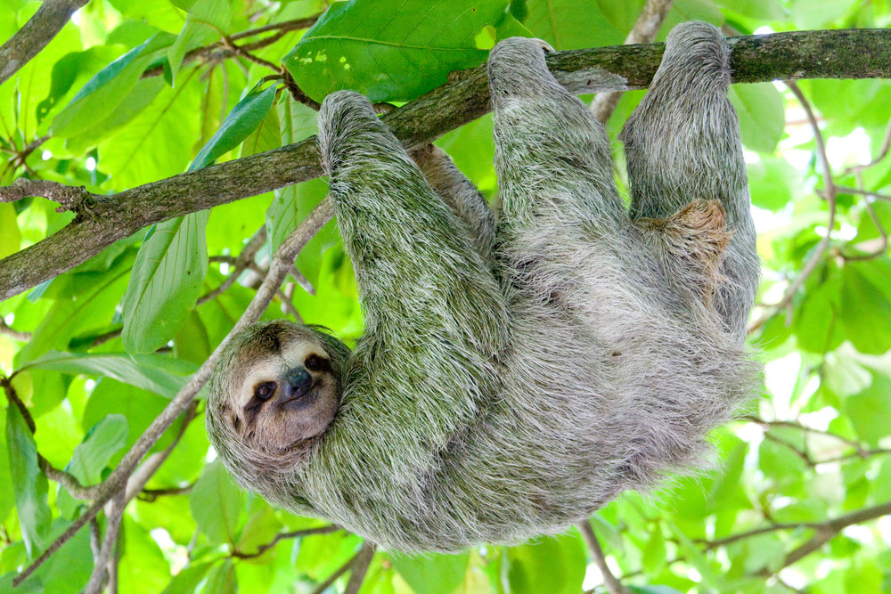 being a sloth has its perks if you like to hang upside down sloth