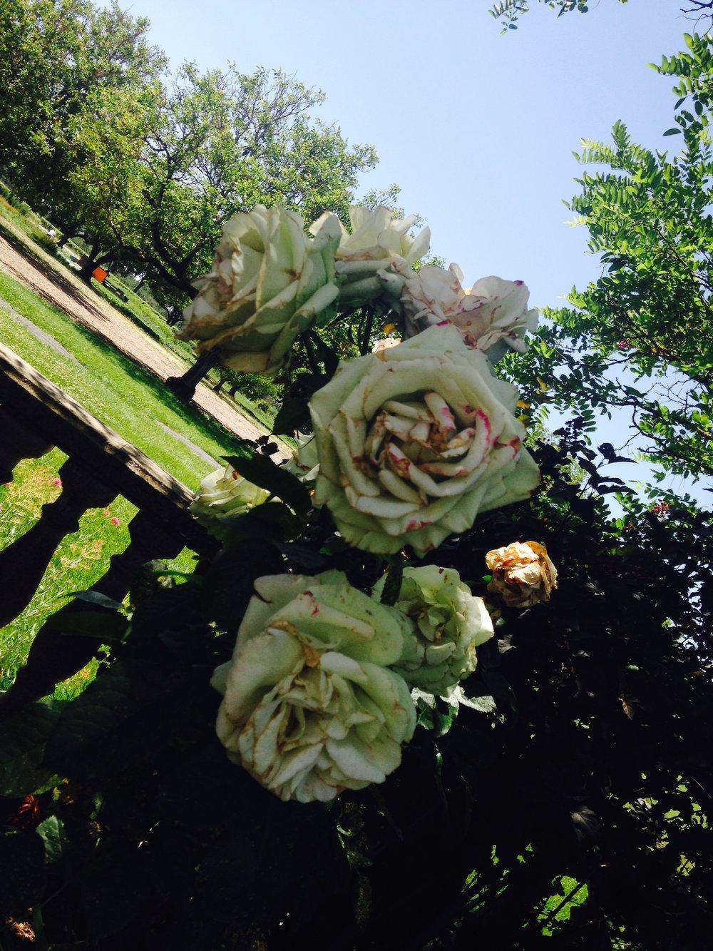 painted roses.JPG