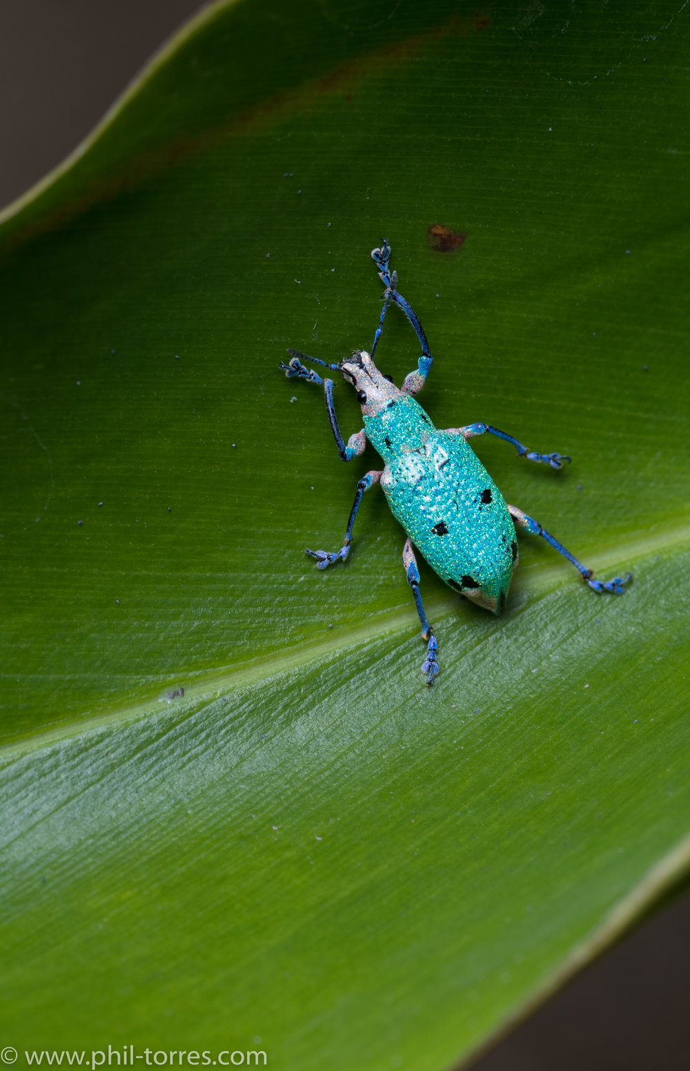 glittery weevil beetle
