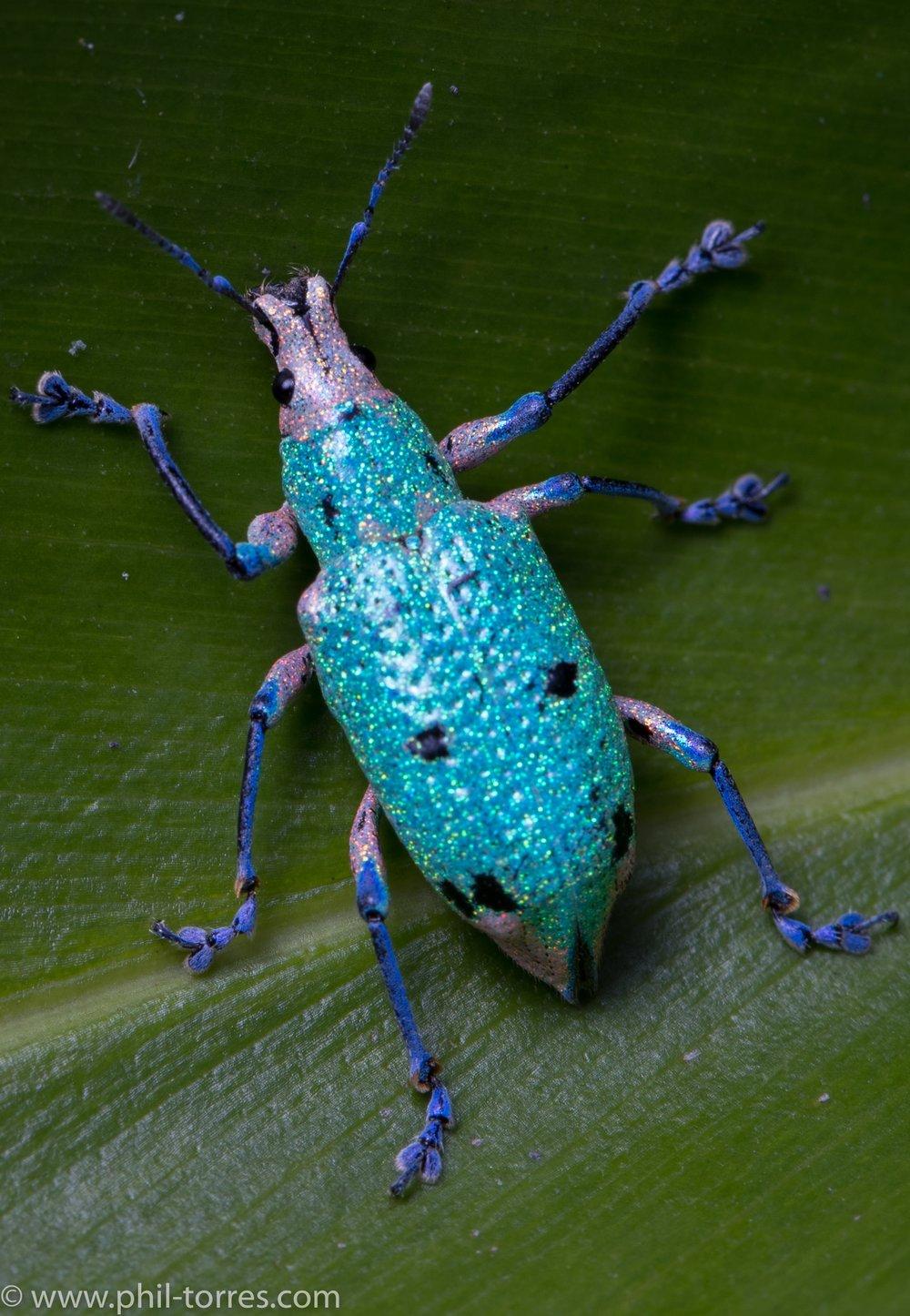 Compsus benoisti Mindo Ecuador Weevil