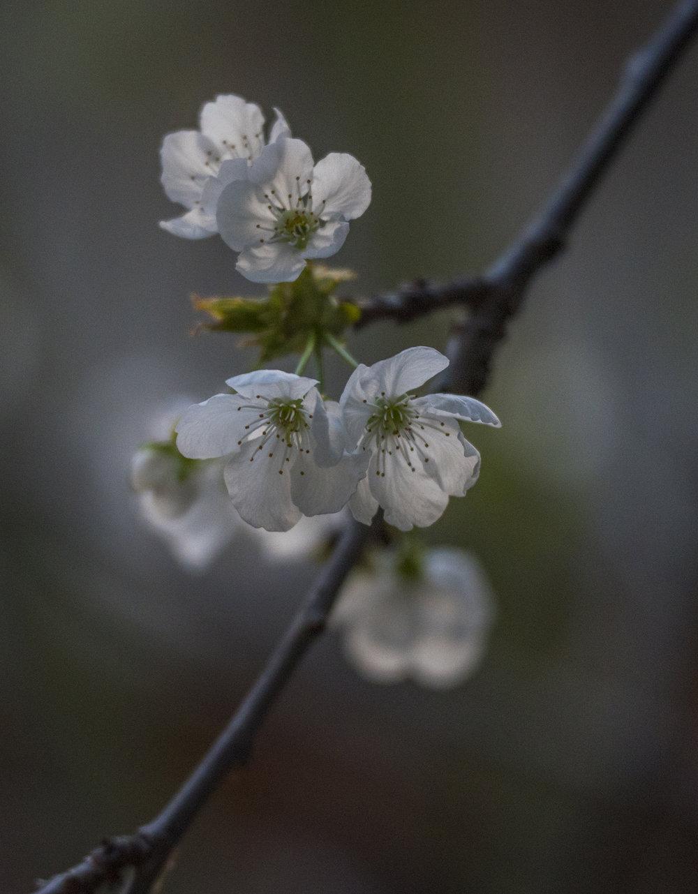 Cherry Blossoms in San Jose, California